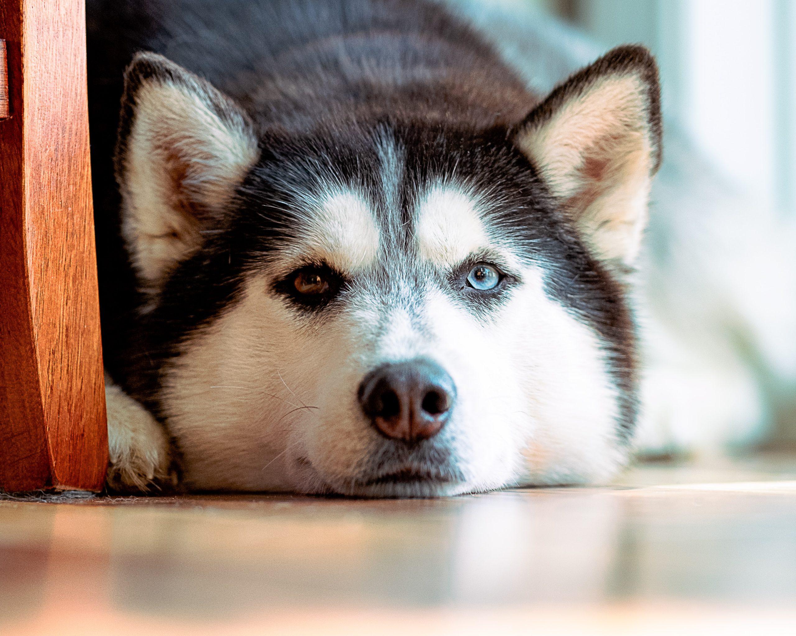 A lying husky.